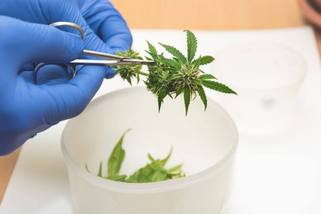 Hand in a blue medical glove cuts leaves from a cannabis plant