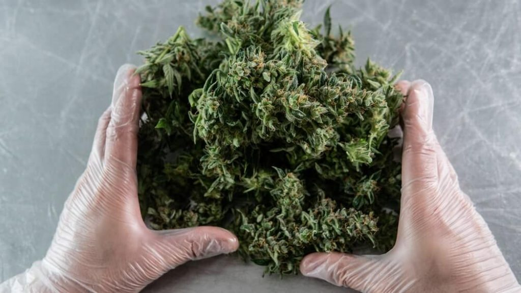 Harvest time for cannabis buds in details.