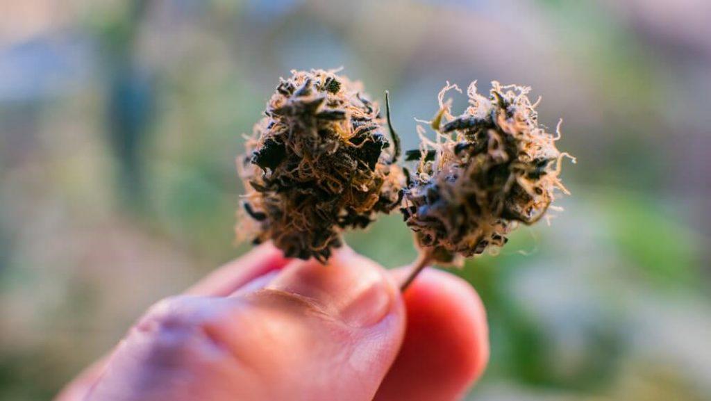 Marijuana buds close-up. Cannabis strains 2020