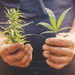 Marijuana sprout on farm cannabis grows in planta