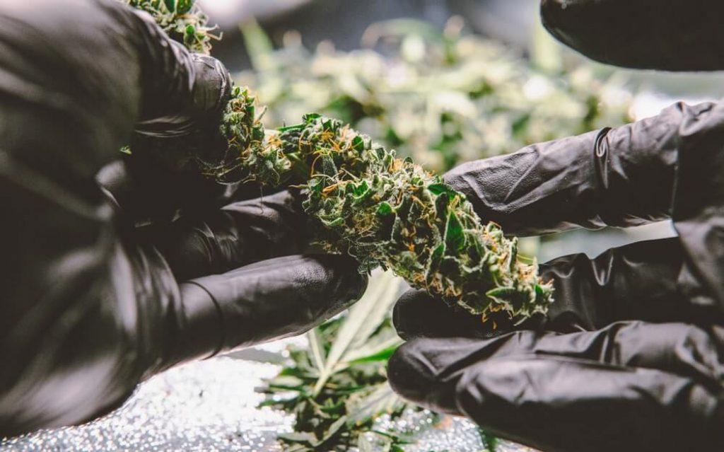 New medical strains of marijuana