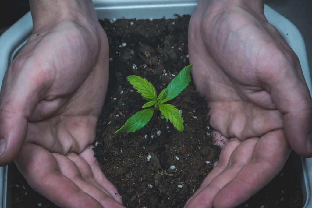 Sprout of medical marijuana plant growing indoor