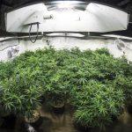 Garden of Marijuana Plants Under Lights of Indoor G