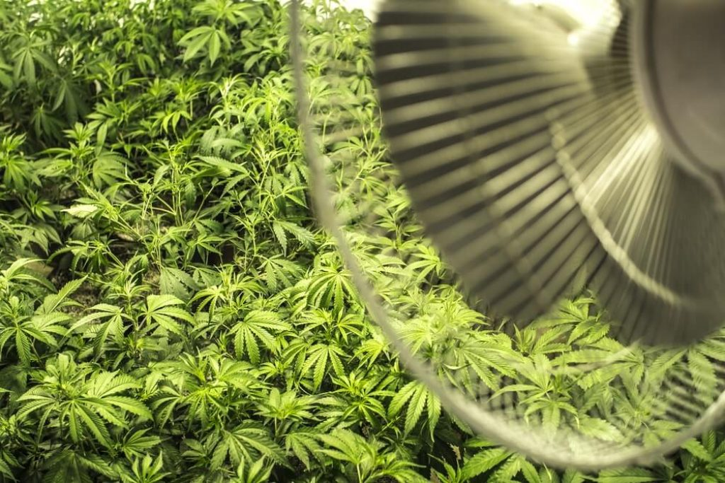Indoor Field of Marijuana Plants under Fan