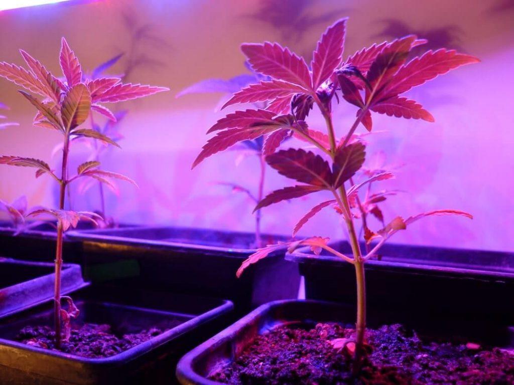 Amnesia autoflovering(Cannabis Sativa)