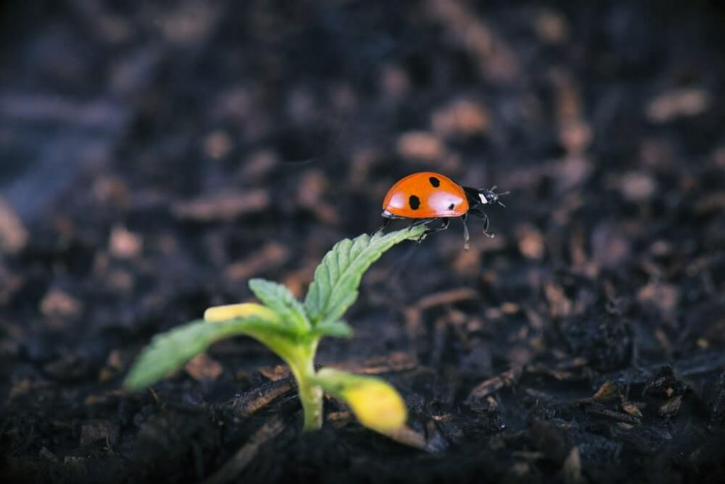 Macro detail of potted cannabis sprout with lady bug