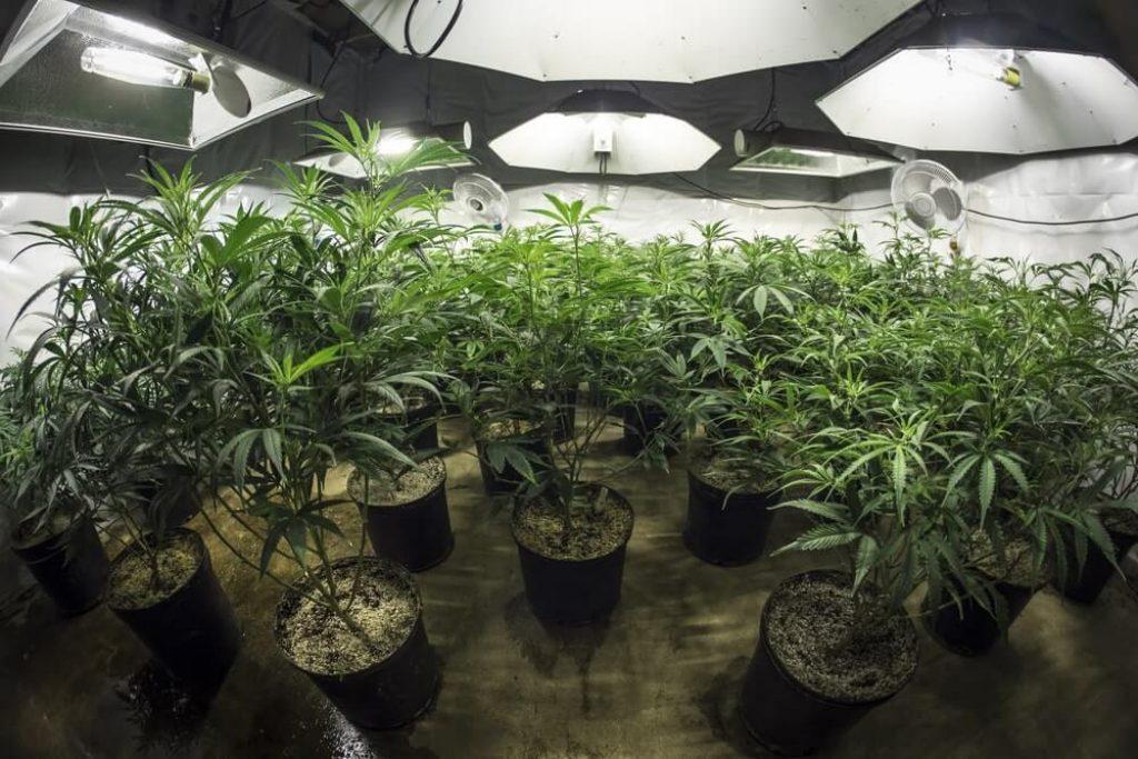 image showing buckets of marijuana indoor