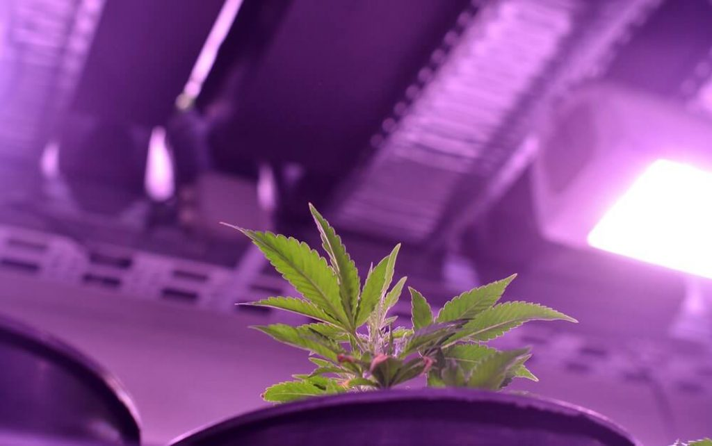 Can you Leave Grow Lights on 24/7?