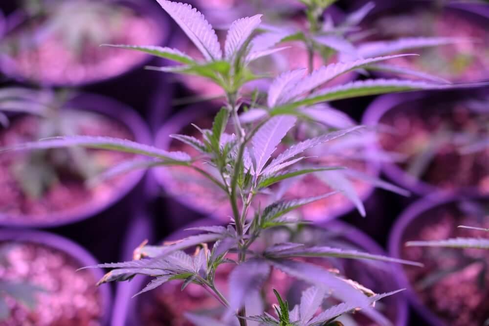 Marijuana. Marijuana and Cannabis growing indoors. Marijuana Grow Tent with lights. Medical and Recreational Cannabis plants