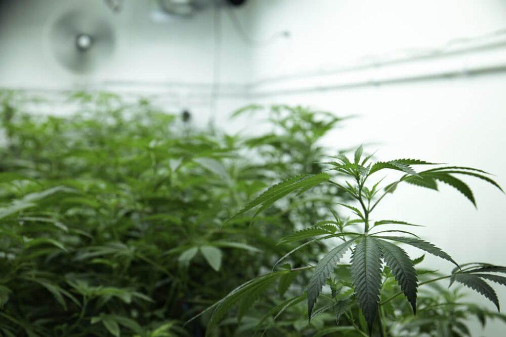 Cannabis Science Labratory Prescription Drug Medicine THC CBD Marijuana Hemp Plants - stock image