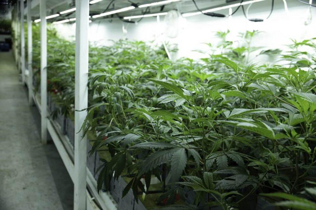 Growing Marijuana Hemp Cannabis in Commercial Greenhouse LED Lights Legal Recreational Drug Business