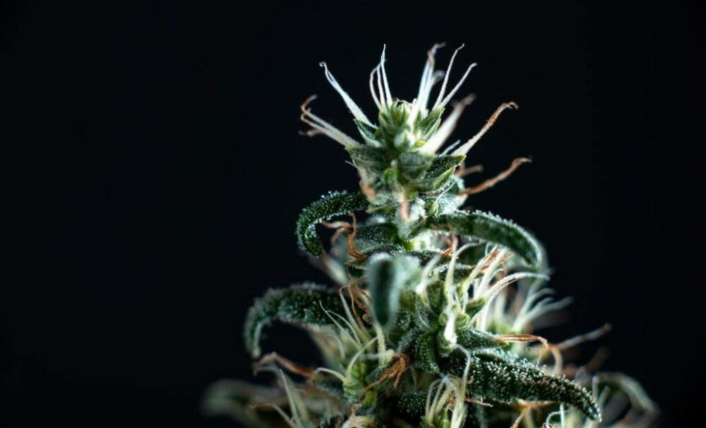 Close-up cannabis marijuana bud flower on black backgrou