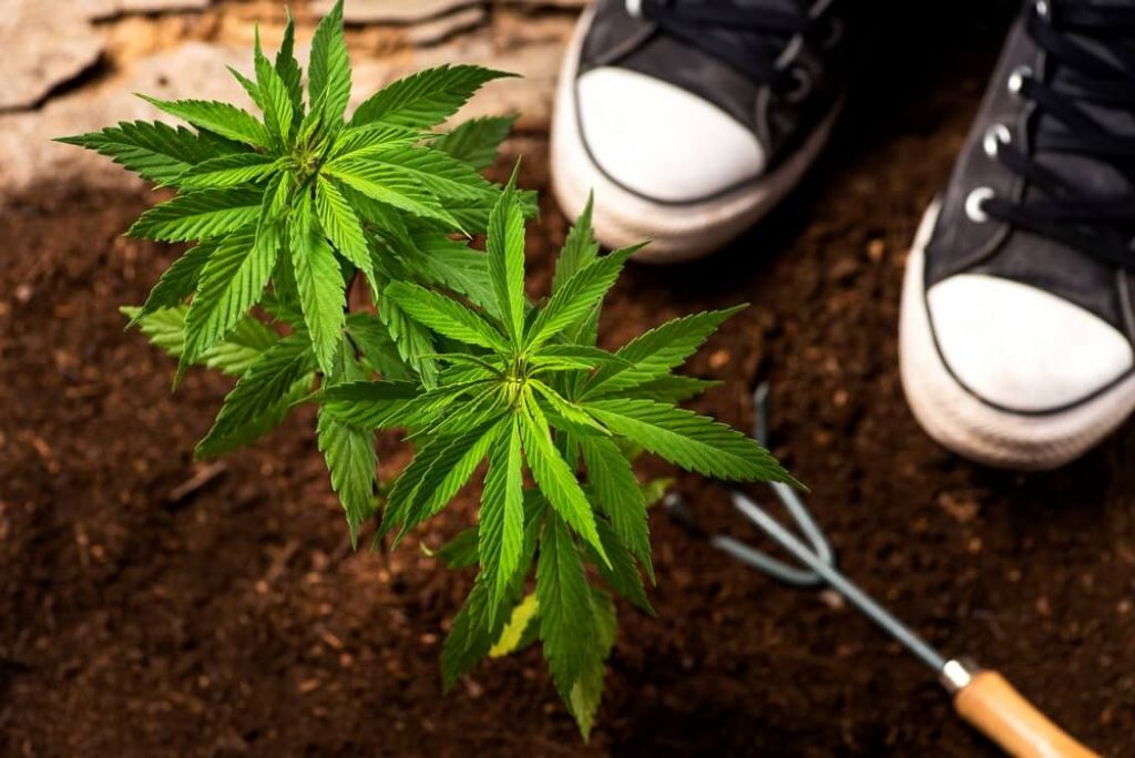 Industrial hemp plant in from the soil and gardening
