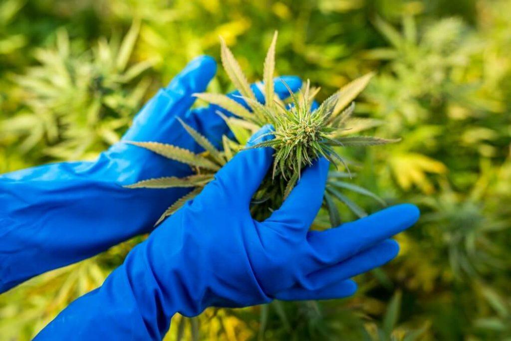 Marijuana CBD plant bud, plant mix of Indian Indica