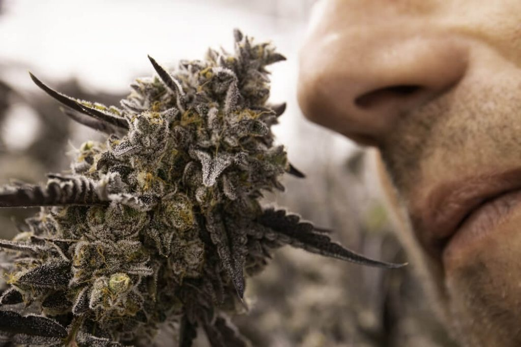 Close Up Person Nose Smelling Blooming Skunky Cannabis Sativa Bud Plant for Recreational Medical Marijuana Concept