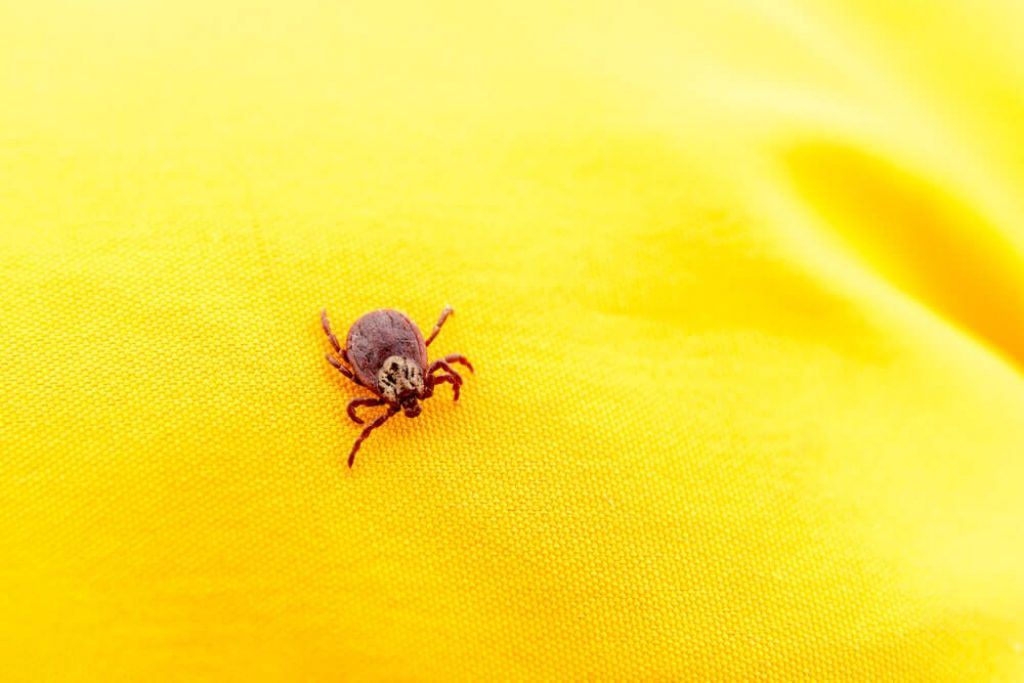 Closeup picture of mite on the yellow clothes isolated