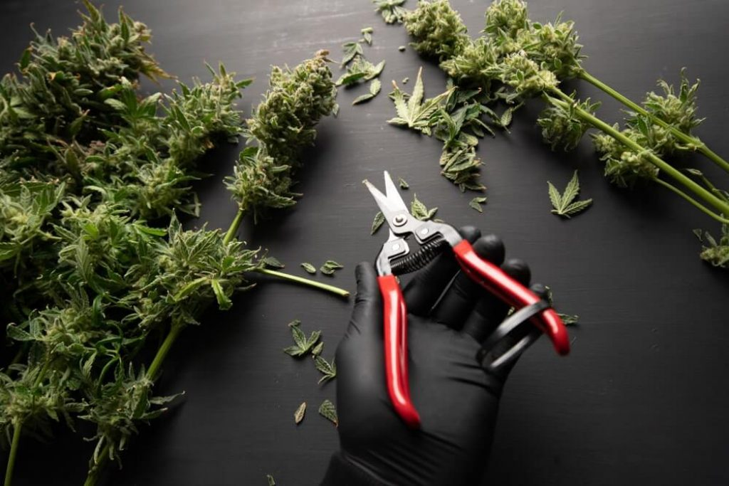 Growers trim their pot buds before drying