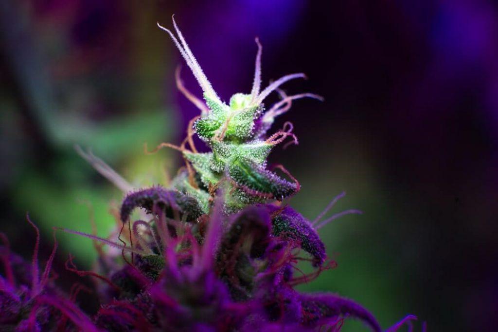 LED growing cannabis medical plan