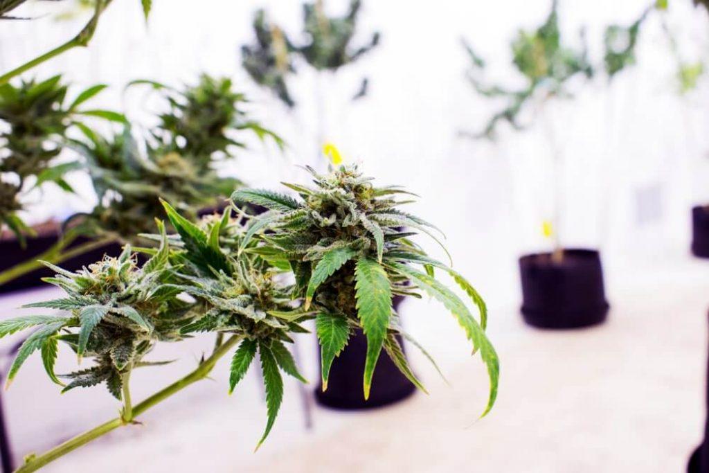 Marijuana, cannabis, pot or weed plants growing indoor