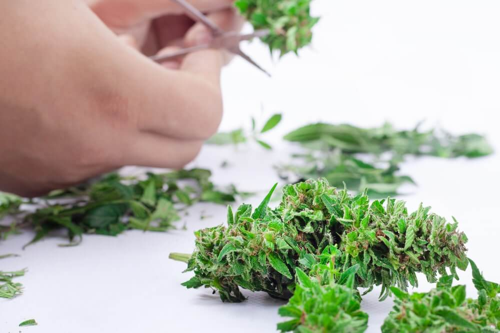 Sog vs Scrog for Growing Marjuana