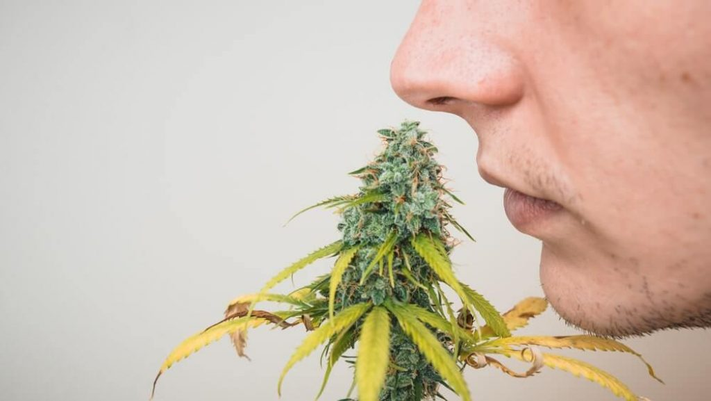 The young person sniffing marijuana buds, close-up.