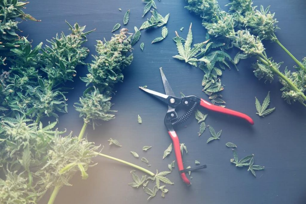 Trim before drying - cannabis leaves