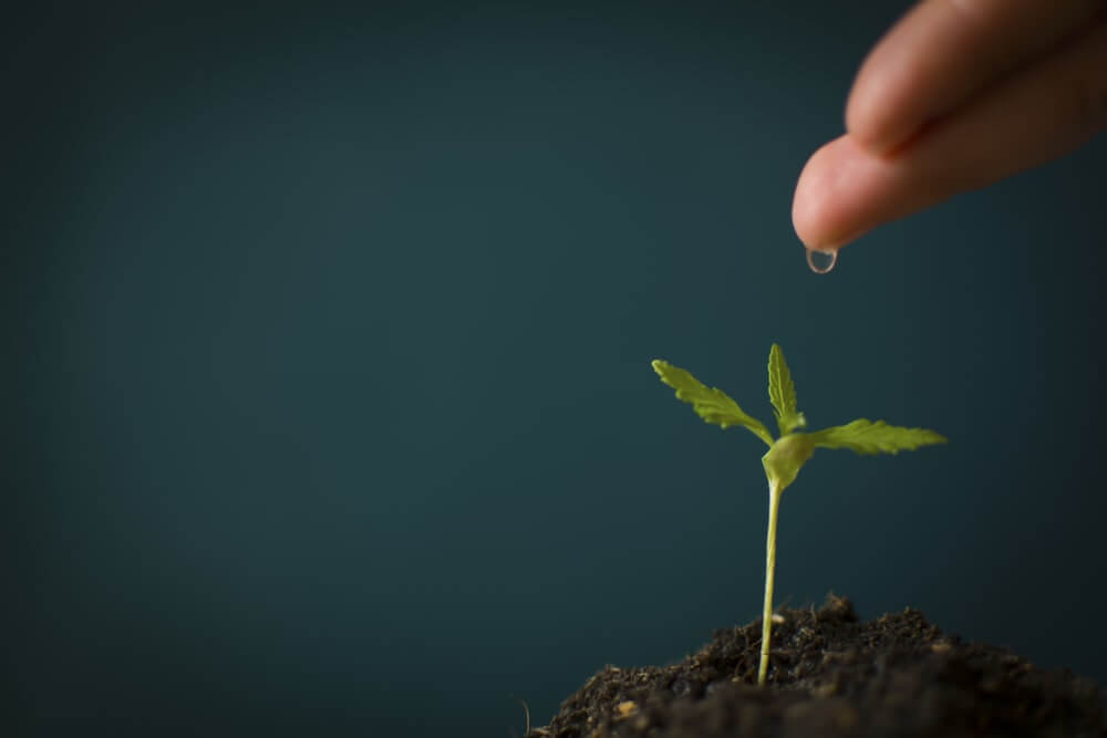 Watering cannabis hand seedlings