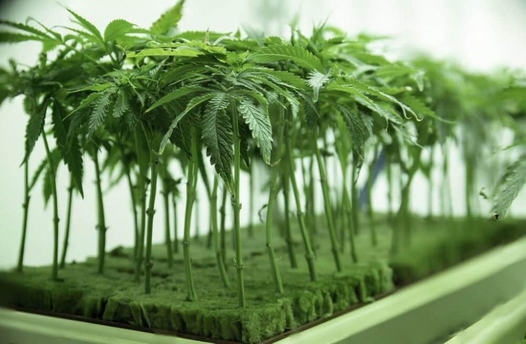 Young Cannabis Plant Clones Seadlings in Vegetat