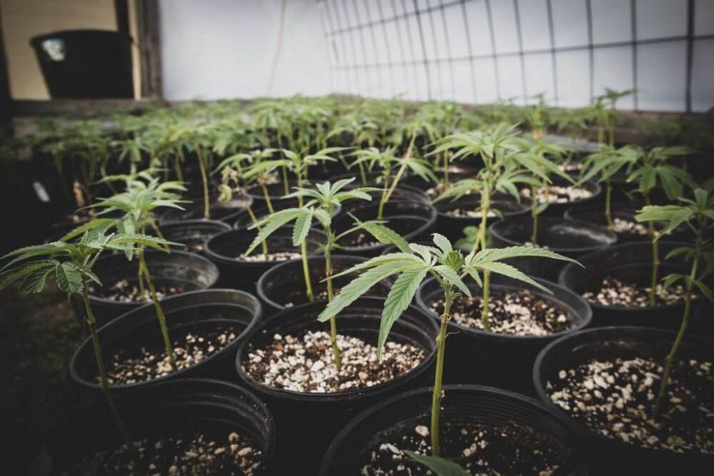 Nursery growing clones of Cannabis plants