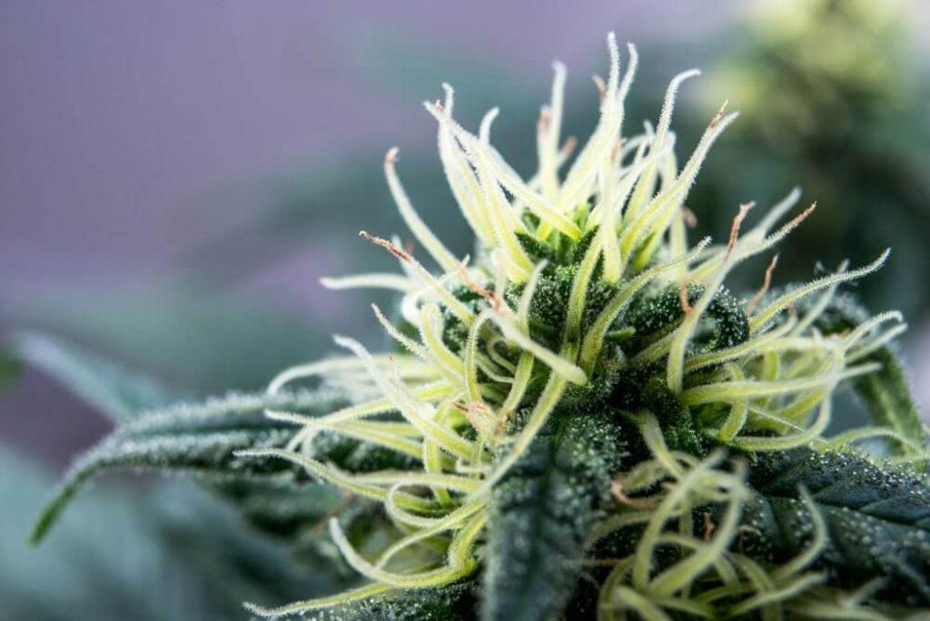 Flowering marijuana cannabis plant medical