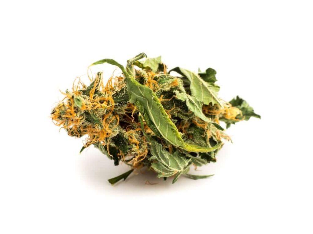 Close up medical marijuana bud isolated on white background