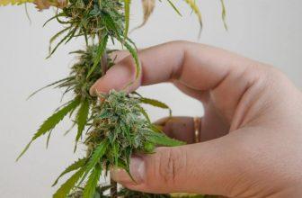 48 hours of darkness before harvesting marijuana plants
