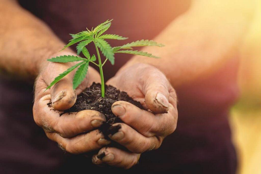 Farmer hands holds baby cannabis plant