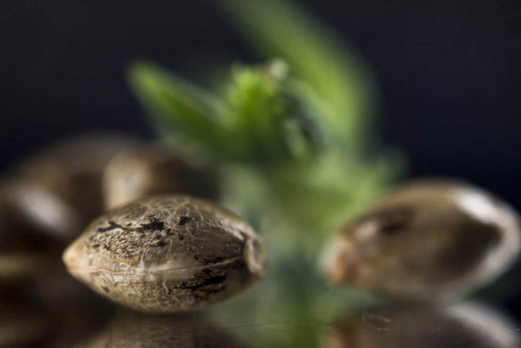 Marijuana seeds over dark reflective background