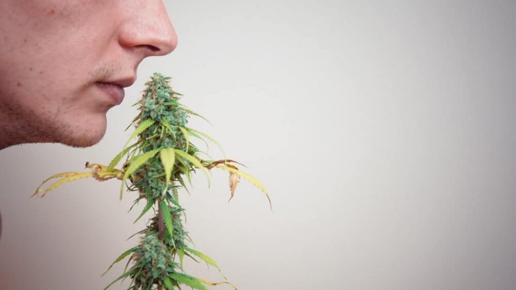 The young person sniffing marijuana buds