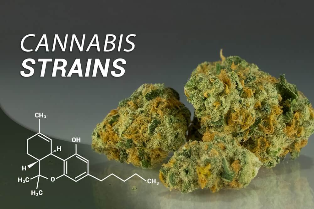 Top 10 highest THC cannabis strains
