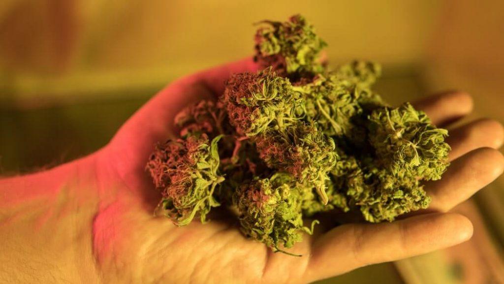 Chemical elements in marijuana buds CBD THCA CBN