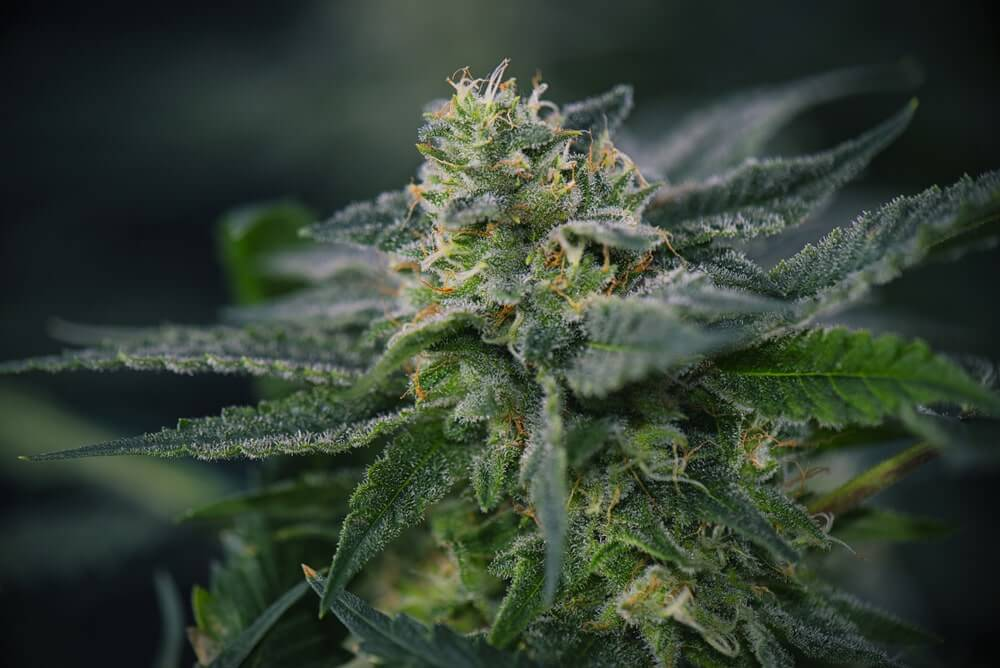 """Flowering at 12 Inches Yield - How Much Weed Do You Get From a Plant If It Stops Growing at 12"""""""