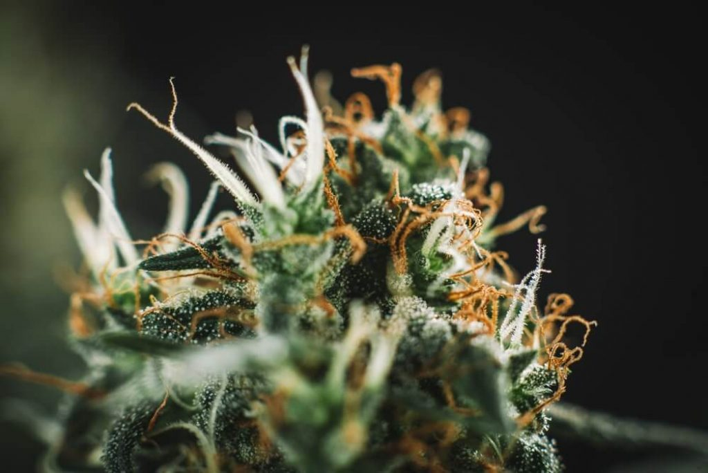 Marijuana plant close-up, medical marijuana
