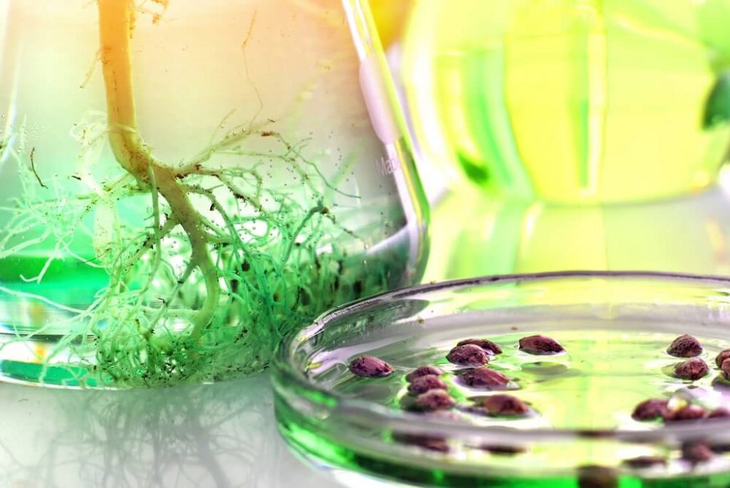 Cannabis seeds and roots of cannabis plant in laboratory glassware for research purposes, biotechnology concep
