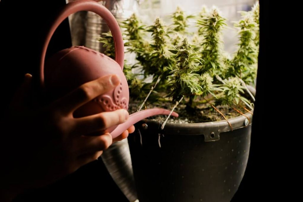 Cultivating marijuana at home in grow tent. Close up man watering cannabis plant