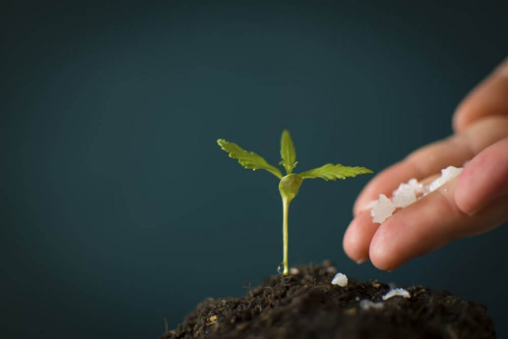 Farmer giving a chemical fertilizer cannabis hand seedlings