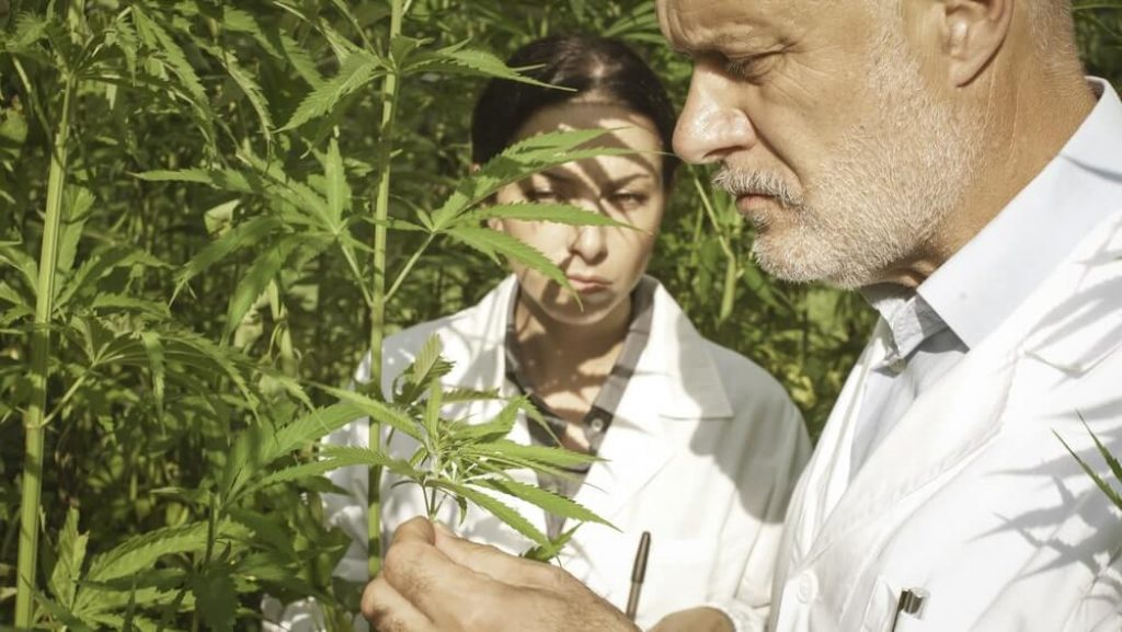 Researchers collecting hemp plant samples in the field