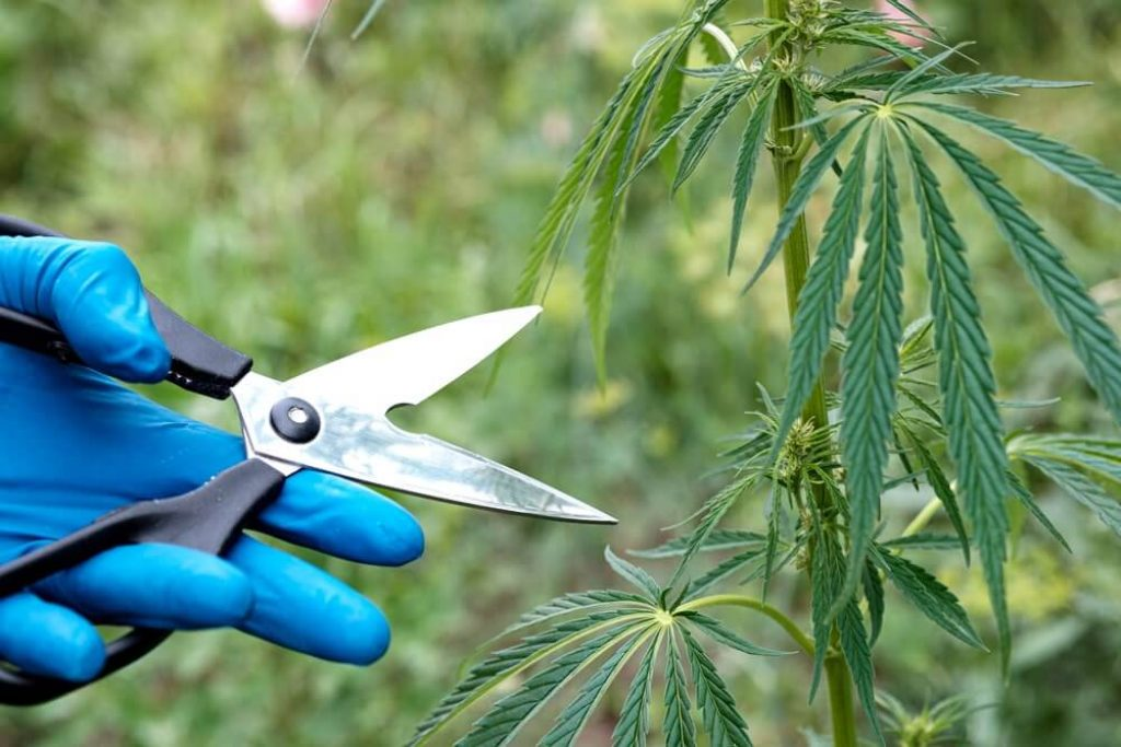 Scissors cutting leaves of cannabis with gloved hands