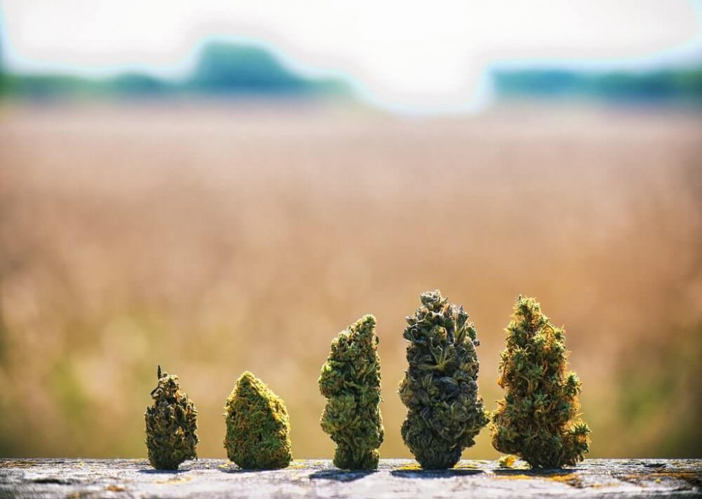 Assorted dried cannabis buds in a line over natural landscape