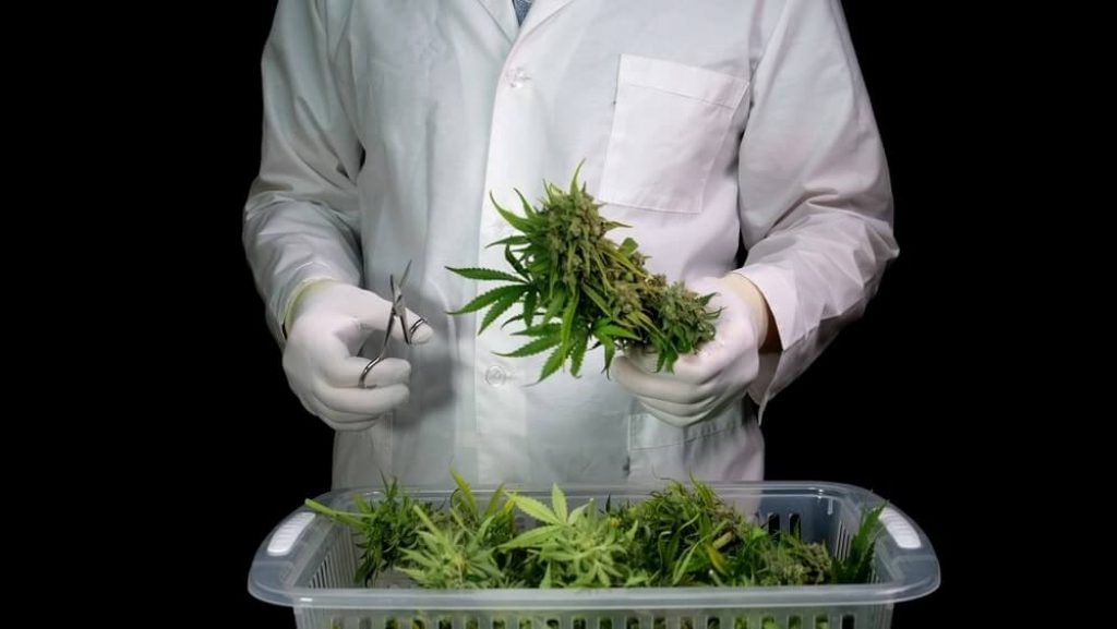 A man in a white robe and gloves makes cannabis trimmings, preparing cannabis cones for further drying