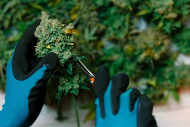 What's it Like to Grow Weed for a Living