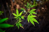Alternatives to pH Down for Cannabis Plants