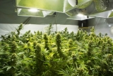 Can You Grow 2 Different Strains of Weed Together?
