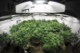 Growing Marijuana Guide – How to Set Up a Grow Room in Your Shed